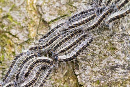 オーク Processionary Thaumetopoea processionea 毛虫、オランダの春の木に移動