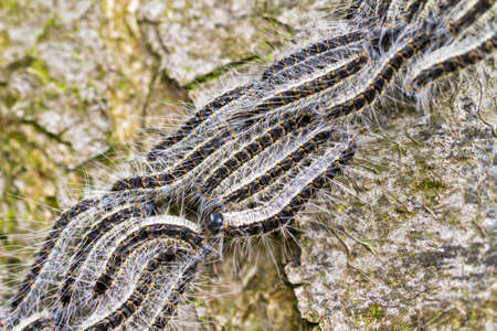 The Oak Processionary  Thaumetopoea processionea  caterpillars on the move on a tree in spring in the Netherlands