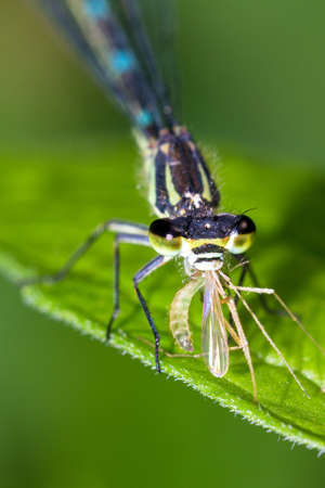 variable: The Variable Damselfly or Variable Bluet  Coenagrion pulchellum  with prey in the Netherlands in spring
