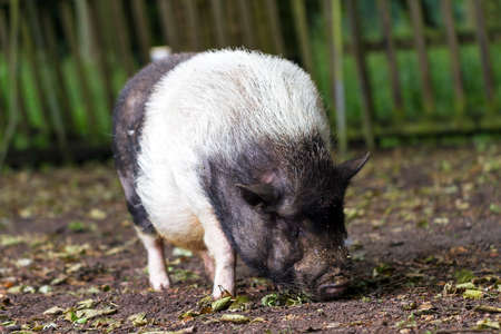 The pot-bellied pig  Sus scrofa vittatus  in a petting zoo in the Netherlands photo