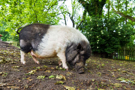 scrofa: The pot-bellied pig  Sus scrofa vittatus  in a petting zoo in the Netherlands