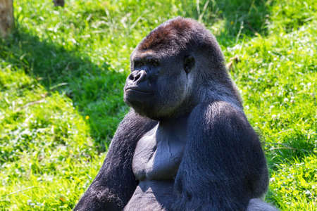 silverback: Alpha male of the western lowland gorilla  Gorilla gorilla gorilla   Stock Photo
