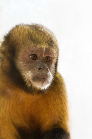 monkey nuts: The golden-bellied capuchin  Sapajus xanthosternos , also known as the yellow-breasted or buffy-headed capuchin  Stock Photo