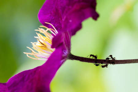 Beautiful macro scene with ants and lice on the stem of a purple flower  photo