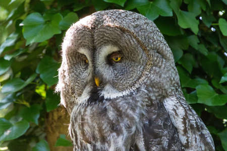 sooty: Portrait of the Great Grey Owl  Strix nebulosa , also called Phantom of the North, Cinereous Owl, Spectral Owl, Lapland Owl, Spruce Owl, Bearded Owl, and Sooty Owl Stock Photo