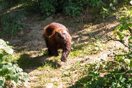 glutton: The wolverine  Gulo gulo , also referred to as glutton, carcajou, skunk bear, or quickhatch