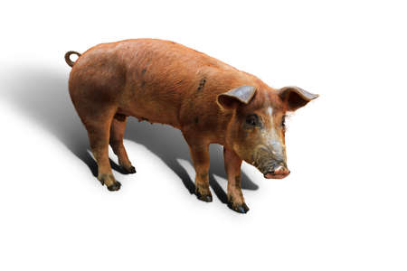 landrace: Brown domestic pig  Sus scrofa domesticus , isolated on a white background