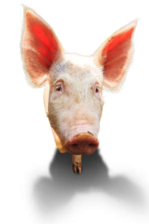 landrace: Variedad local holand�s, cerdo dom�stico Sus scrofa domesticus, aislados en un fondo blanco Foto de archivo