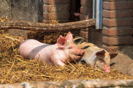landrace: Dutch landrace, domestic piglets  Sus scrofa domesticus , on a farm in the Netherlands Stock Photo