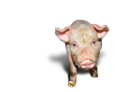 landrace: Dutch landrace, domestic piglet  Sus scrofa domesticus , isolated on a white background