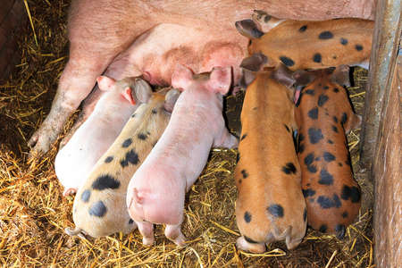 Dutch landrace, domestic pig  Sus scrofa domesticus , on a farm in the Netherlands with a variety of suckling piglets photo