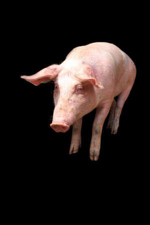 landrace: Variedad local holand�s, cerdo dom�stico Sus scrofa domesticus, aislados en un fondo negro