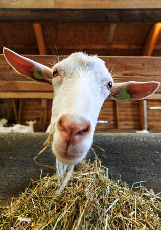 hircus: Close up of a Dutch Saanen goat  Capra aegagrus hircus