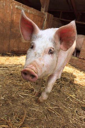 landrace: Variedad local holand�s, dom�stico Sus scrofa domesticus cerdo, en una granja en los Pa�ses Bajos