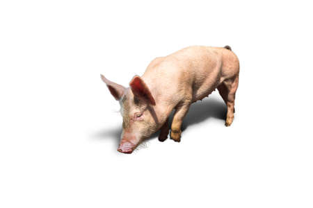 landrace: Dutch landrace, domestic pig  Sus scrofa domesticus , isolated on a white background Stock Photo