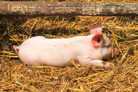 sus: Dutch landrace, domestic piglet  Sus scrofa domesticus , on a farm in the Netherlands Stock Photo