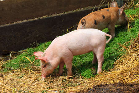 landrace: Variedad local holand�s, dom�stico Sus scrofa domesticus lechones, en una granja en los Pa�ses Bajos