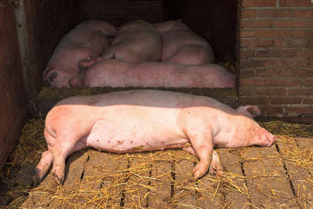 landrace: Lazy Dutch landrace, domestic pigs  Sus scrofa domesticus , on a farm in the Netherlands Stock Photo