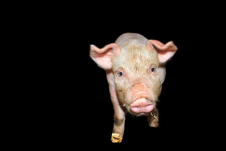 landrace: Dutch landrace, domestic piglet  Sus scrofa domesticus , isolated on a black background Stock Photo