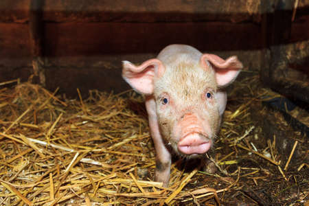 landrace: Dutch landrace, domestic piglet  Sus scrofa domesticus , on a farm in the Netherlands Stock Photo