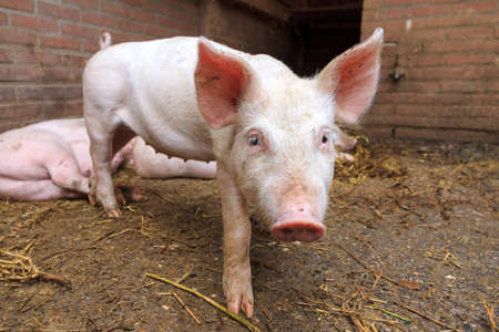 landrace: Dutch landrace, domestic pig  Sus scrofa domesticus , on a farm in the Netherlands Stock Photo