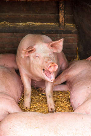 scrofa: Happy Dutch landrace, domestic pig  Sus scrofa domesticus , on a farm in the Netherlands