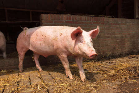 landrace: Dutch landrace, domestic pig  Sus scrofa domesticus , on a farm in the Netherlands Stock Photo