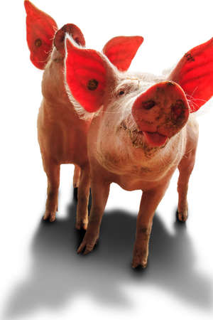 landrace: Dutch landrace, domestic piglets  Sus scrofa domesticus , isolated on a white background