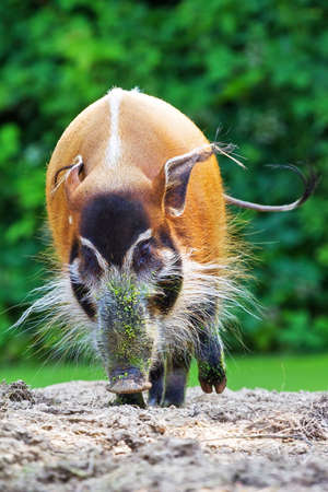 bush hog: The red river hog  Potamochoerus porcus , originated from the African rainforests