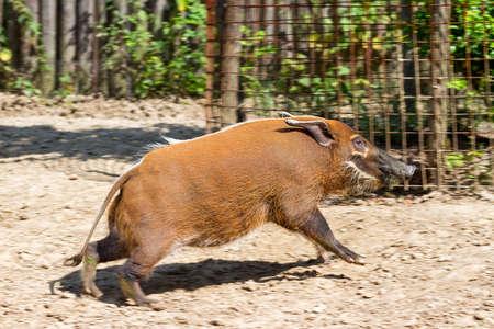 bush hog: El r�o rojo Potamochoerus cerdo porcus, se origin� a partir de los bosques tropicales africanos Foto de archivo