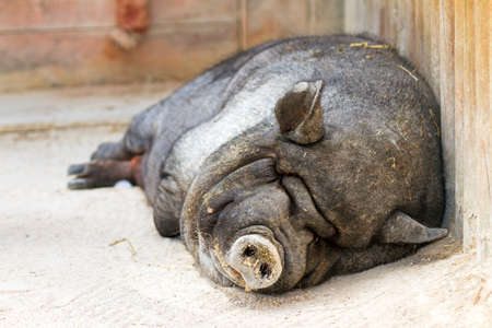 pot bellied: pig taking a nap