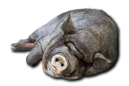 pig taking a nap, isolated on a white background photo