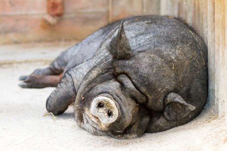 Very lazy, cute and beautiful pot-bellied pig taking a nap photo