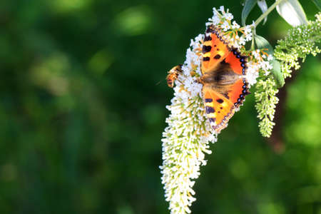 The Small Tortoiseshell  Aglais urticae L   on summer lilac  Buddleja davidii  in the Netherlands  photo