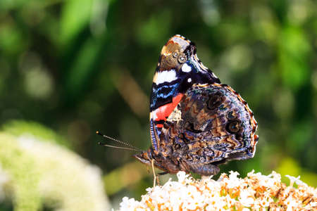 The Red Admiral  Vanessa atalanta  on summer lilac  Buddleja davidii  in the Netherlands  photo
