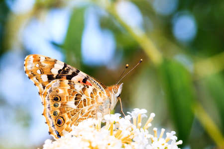 The Painted Lady, or Cosmopolitan  Vanessa cardui   on summer lilac  Buddleja davidii  in the Netherlands  photo