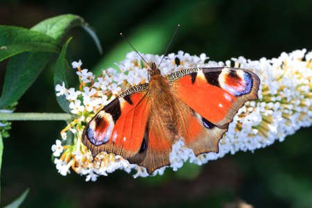 The European Peacock  Inachis io  on summer lilac  Buddleja davidii  in the Netherlands photo