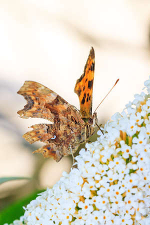 The Comma  Polygonia c-album  on summer lilac  Buddleja davidii  in the Netherlands  photo