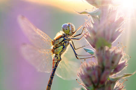 sympetrum: The Common Darter  Sympetrum striolatum, female  at sunrise on purple pink Lupinus flowers in the Netherlands Stock Photo