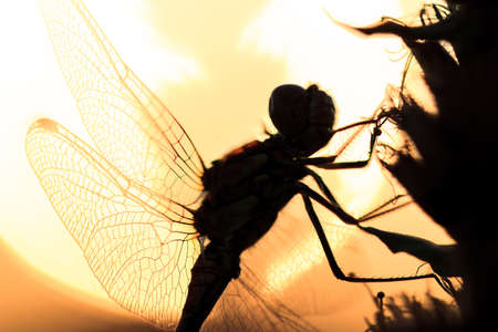 Silhouette close up of a dragonfly at sunrise in the Netherlands photo