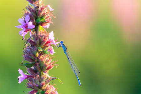 zygoptera: Common Blue Damselfly  Enallagma cyathigerum  at sunrise on purple pink Lupinus flowers in the Netherlands