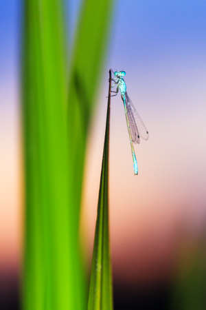 zygoptera: Common Blue Damselfly  Enallagma cyathigerum  at sunset on reed near the water in the Netherlands