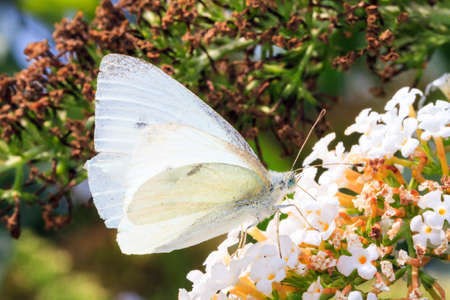 The Green-veined White  Pieris napi  on summer lilac  Buddleja davidii  in the Netherlands  photo