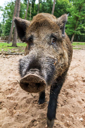 scrofa: Wild boar  Sus scrofa  in national park  Het Aardhuis  at the  Hoge Veluwe  in the Netherlands Stock Photo
