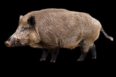 scrofa: Wild boar  Sus Scrofa  isolated on a black background