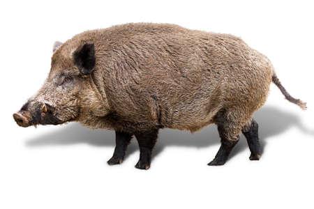 猪イノシシ、白い背景で隔離