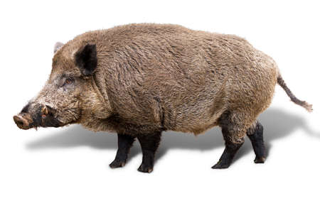 Wild boar  Sus Scrofa  isolated on a white background photo