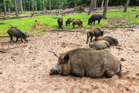Wild boars  Sus scrofa  in national park  Het Aardhuis  at the  Hoge Veluwe  in the Netherlands photo