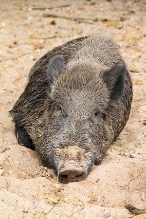 Young wild boar  Sus scrofa  in national park  Het Aardhuis  at the  Hoge Veluwe  in the Netherlands photo