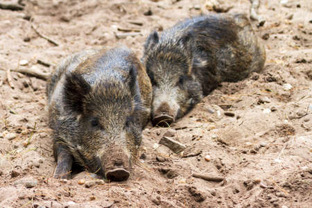 Young wild boars  Sus scrofa  in national park  Het Aardhuis  at the  Hoge Veluwe  in the Netherlands photo